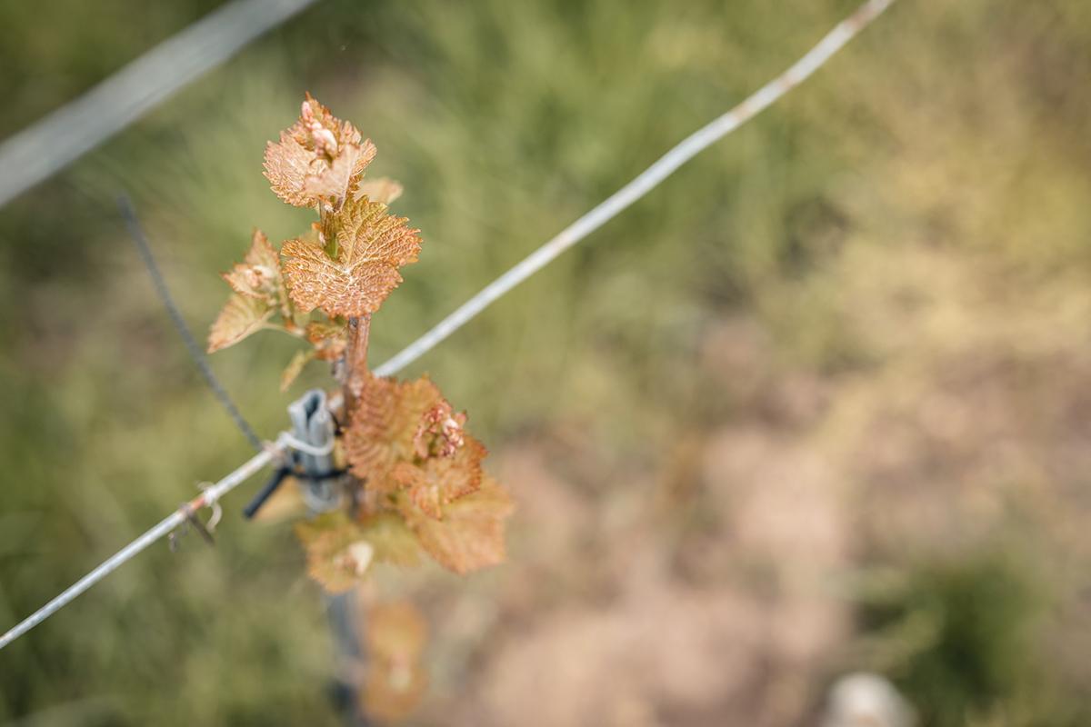 Castas - Vinhos Verdes